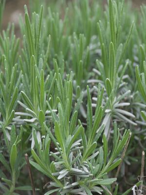 Lavender Munstead Dwarf