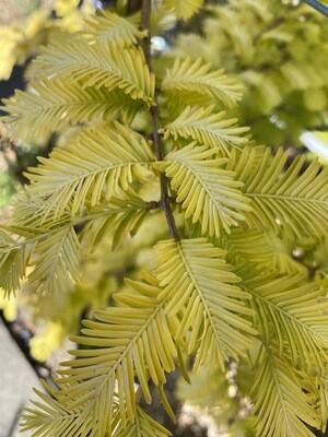 Metasequoia Goldrush