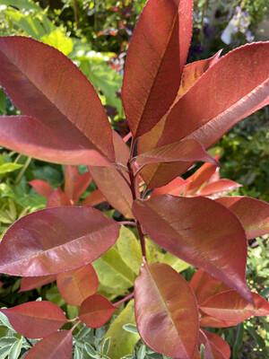 Photinia Red Robin 10l Pot