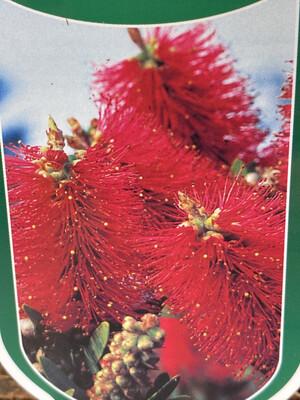 Callistemon Citrinus 'Red Cluster'