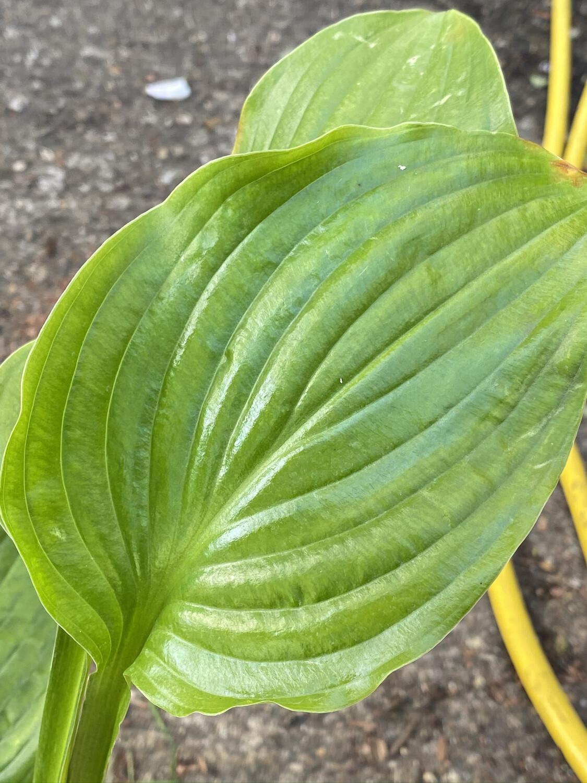 Hosta Plantaginea 1.5L
