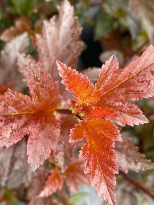 Physocarpus Opulus Summer Wine
