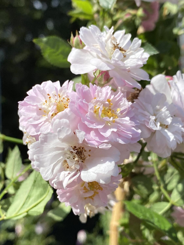 Climbing Rose Little Rambler