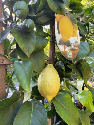 Citrus 'Lemon' On A Trellis
