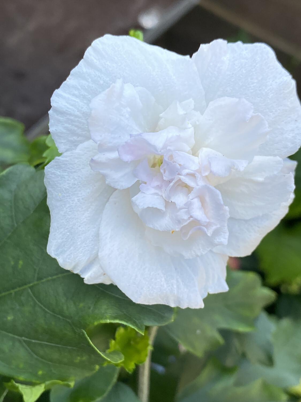 Hibiscus 2.5l