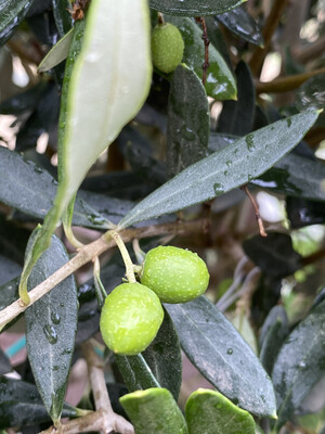 Olive Standard