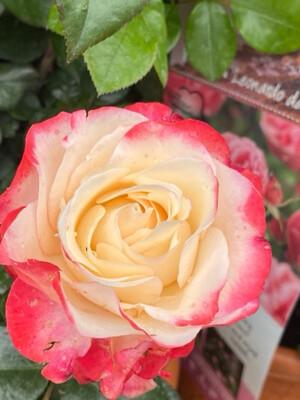 Bush Rose Rosa Nostalgia (Large)