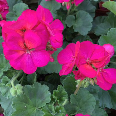Zonal Geraniums PINK SHADES Large size - (4 Plants)