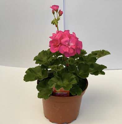Zonal Geraniums - Large Size- Americana/Calliope - PINK
