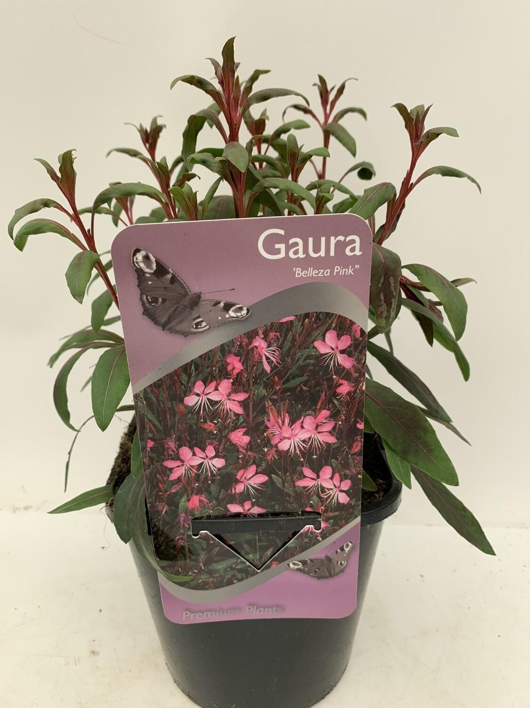 Gaura 'Belleza Pink'