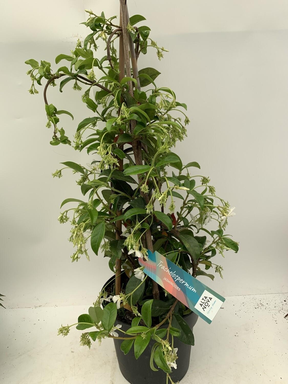 Trachelospermum Jasminoides Piramide