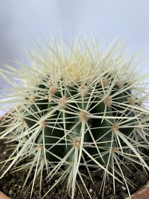 Cactus In Terra-cotta Pot