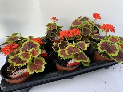 Geranium 'Occult Shield' (tray Of 8 Plants)
