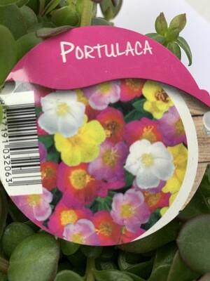Portulaca Trio Pot Carnival Mixed