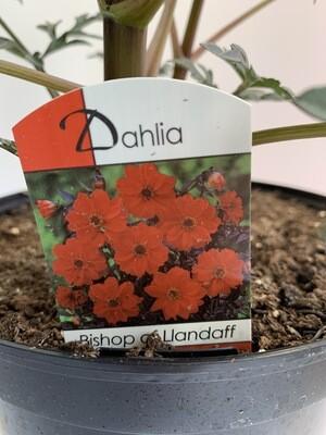 Dahlia Mix