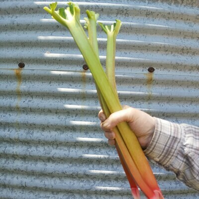 Rhubarb from our fields