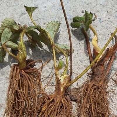 Strawberry Plants (3)