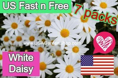Shasta White Daisy Plant Hoa Cuc Trang