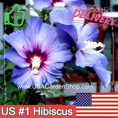 Azurri Blue Satin Rose Of Sharon Hibiscus