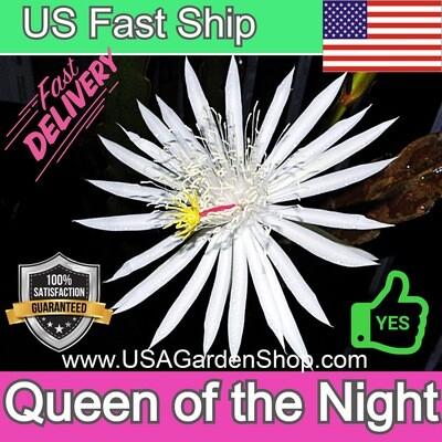 Saussurea Obvallata Queen of the Night