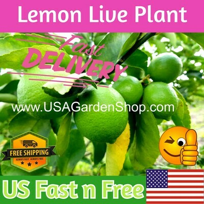 Lemon Tree Citrus Green Lime Plant Cay Chanh