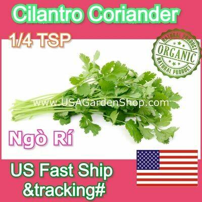 CORIANDER CILANTRO Coriander parsley Ngo Ri