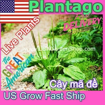 Plantago Plantain Leaf Mã đề Live Plant