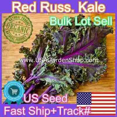 Kale Seeds Red Russian Cải xoăn 케일