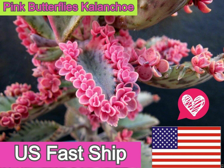 Pink Butterfly Kalanchoe Succulent