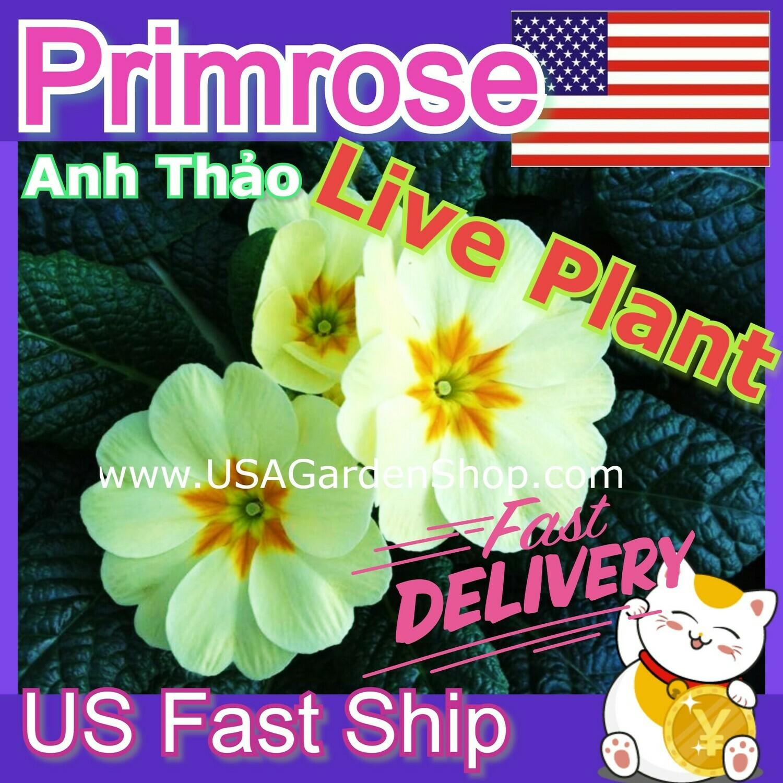 Primrose Beautiful Hoa anh thảo