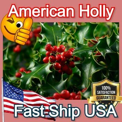 American Holly tree hardy shrub