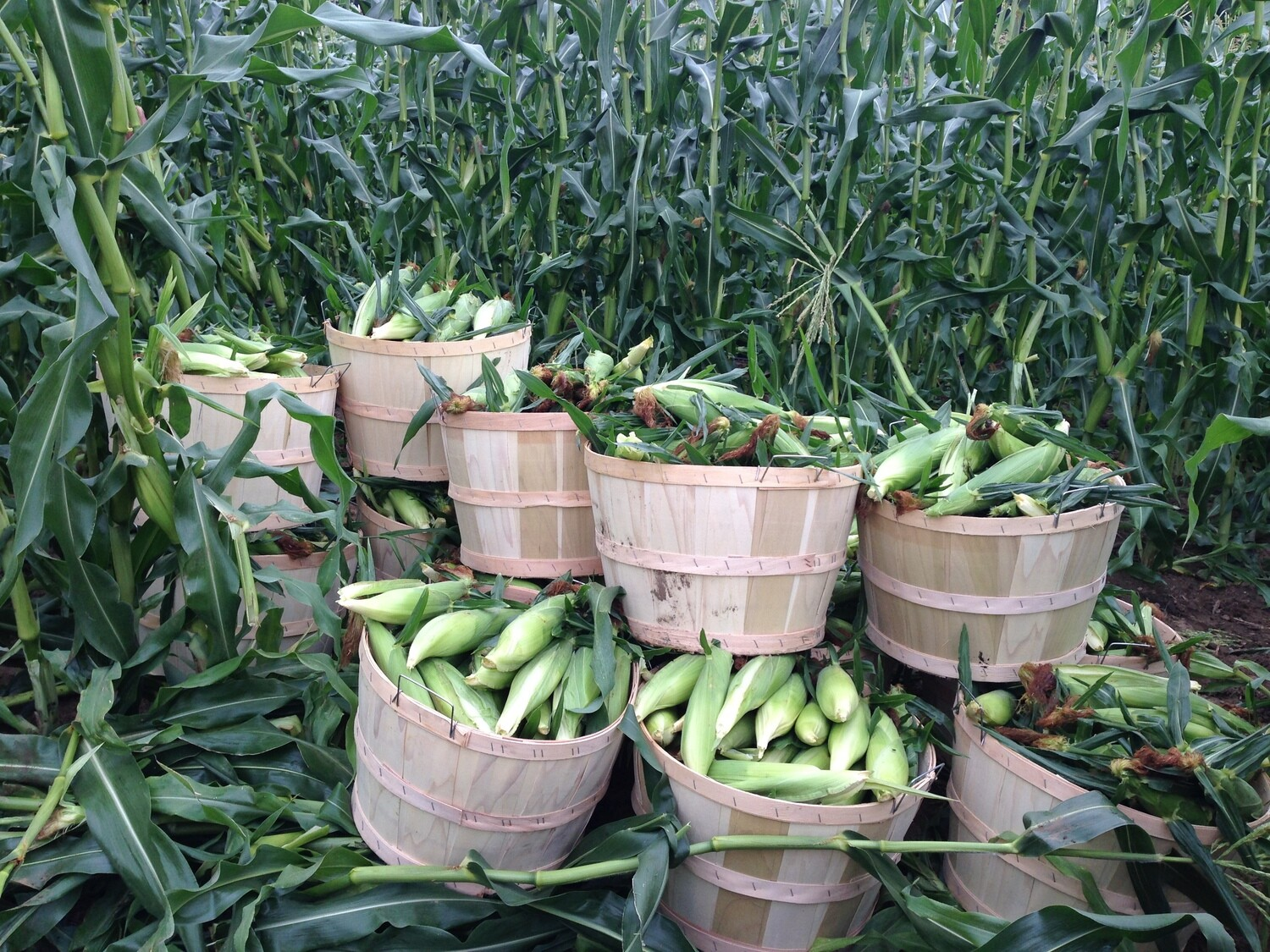 OUR FARM GROWN NON-GMO SWEET CORN - SPECIAL 7 ears for the price of 6