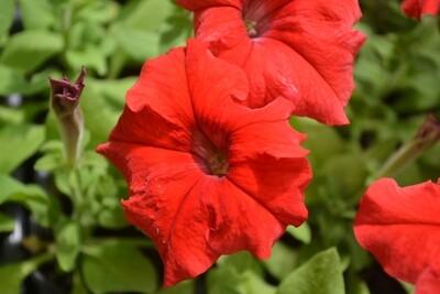 Красная петуния крупноцветковая