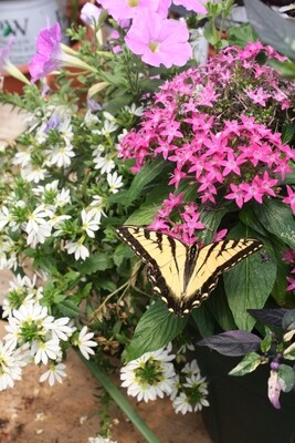 Colorful Sun-loving Annuals ~ for Borders, Beds, Window Boxes & more