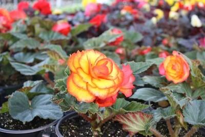 Elegant, richly colored ~  Shade-loving Non-Stop Tuberous Begonias