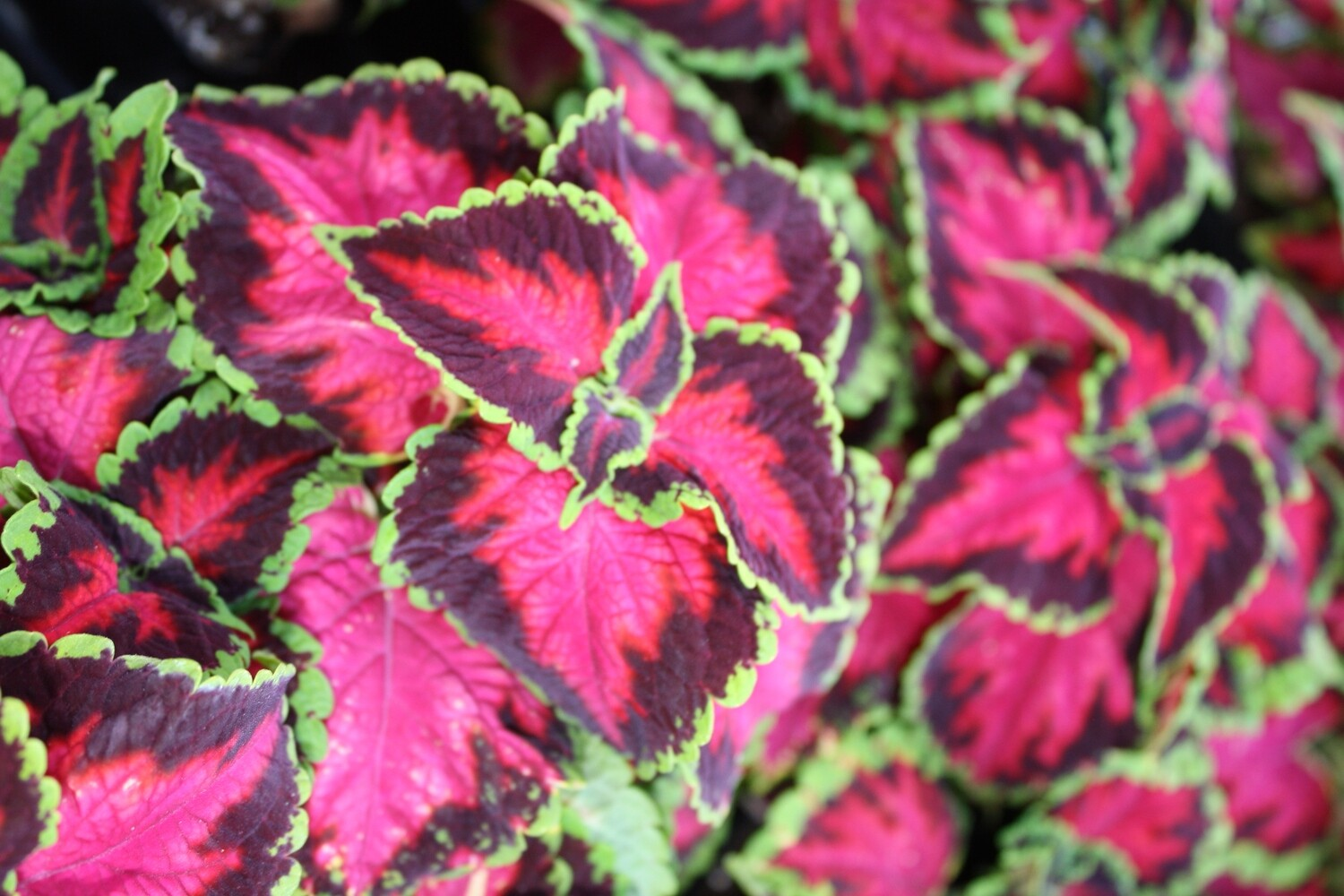 Coleus ~ For Stunning Colors & Textures