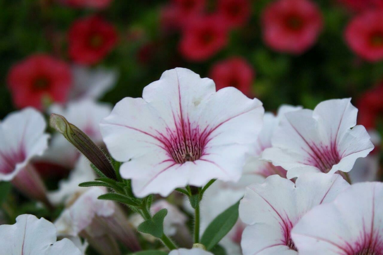 Petunias Only ~  Simply Beautiful, Striking Collections
