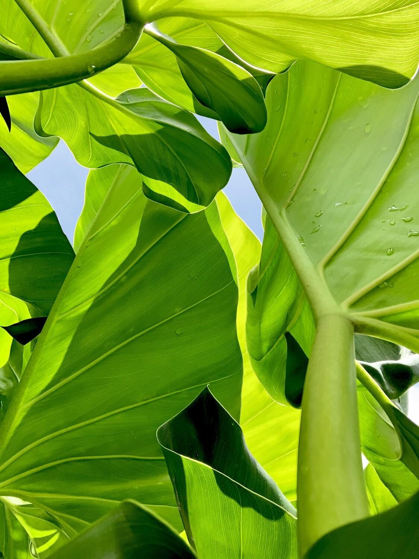 Bill Claps, Dominican Foliage I & II