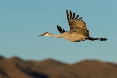 Birds in Flight with Nikon Cameras