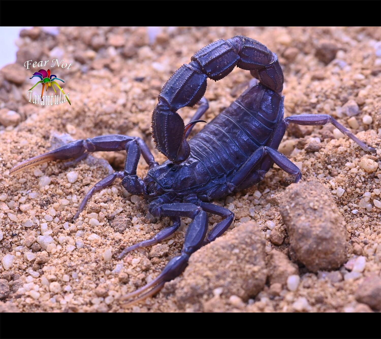 Androctonus gonneti (Ebony Fat-Tailed Scorpion) Unsexed sub-adult