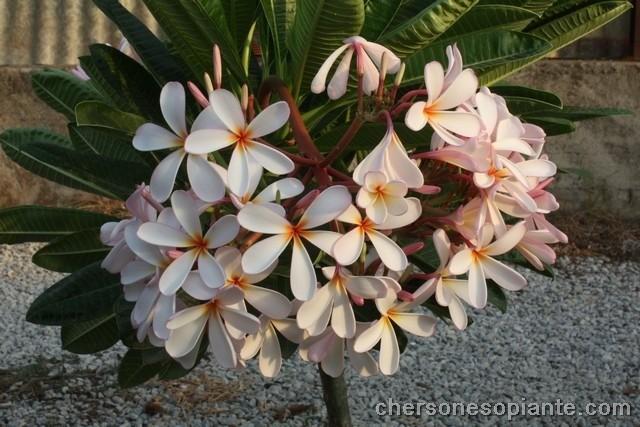 "Plumeria obtusa ""Dwarf singapore pink"""