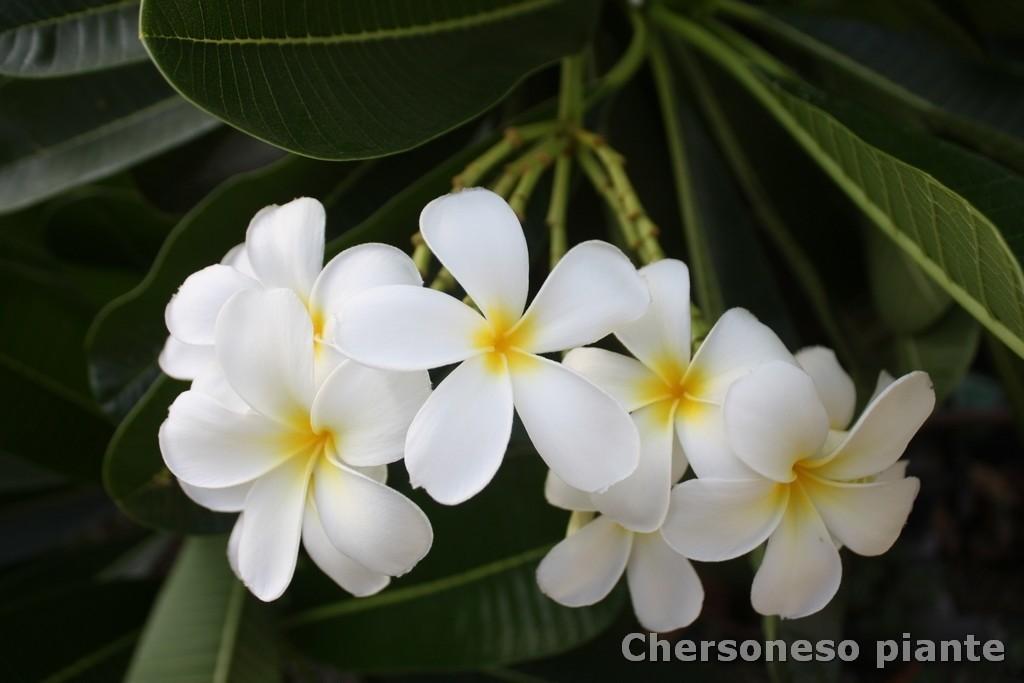 """Plumeria obtusa """"Singapore"""""""