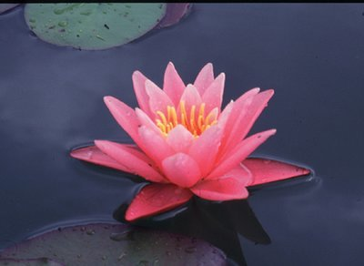Nymphaea Pink Hardy Lily, bare root