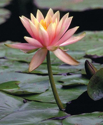 Nymphaea Peach Hardy Lily, bare root