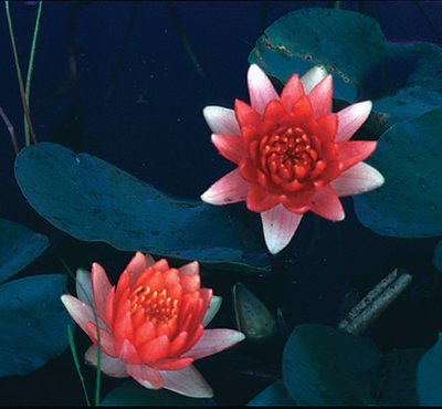 Nymphaea Red Hardy Lily, bare root