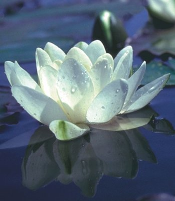 Nymphaea White Hardy Lily, bare root