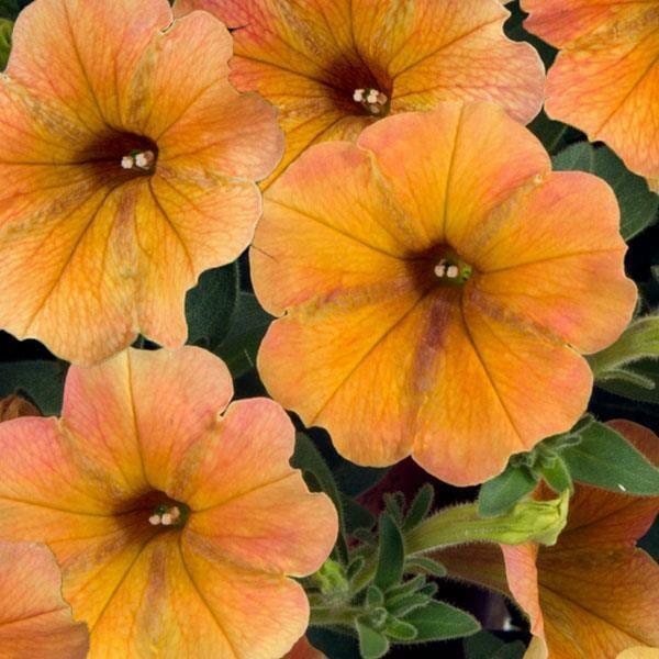 "Petunia Cascadias ""Indian Summer"""