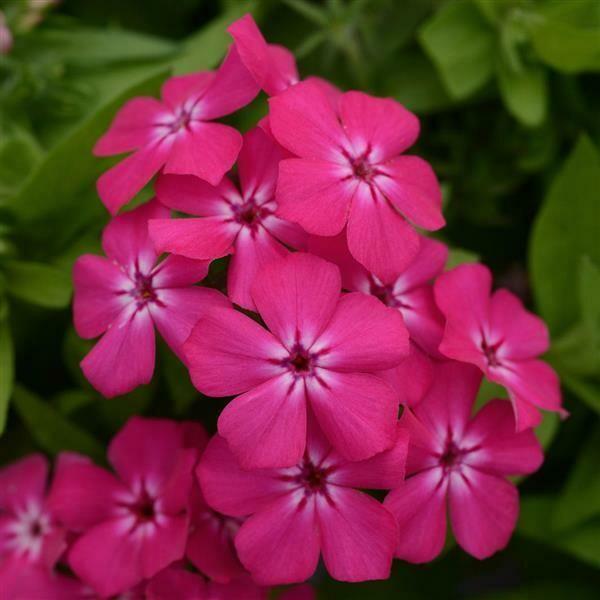 Phlox Gisele® Hot Pink