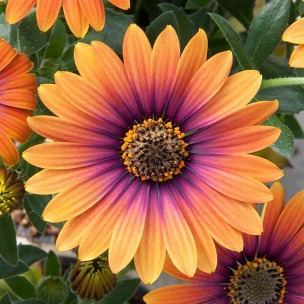 Osteospermum Zion™ Purple Sun