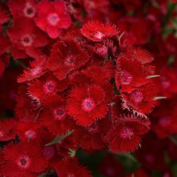 Dianthus Rockin'™ Red
